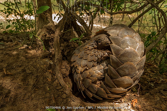 Ground pangolin (Smutsia temminckii) curling up to rest on a termite mound in Gorongosa National Park, Mozambique. Taken shortly after it was released back into the wild.