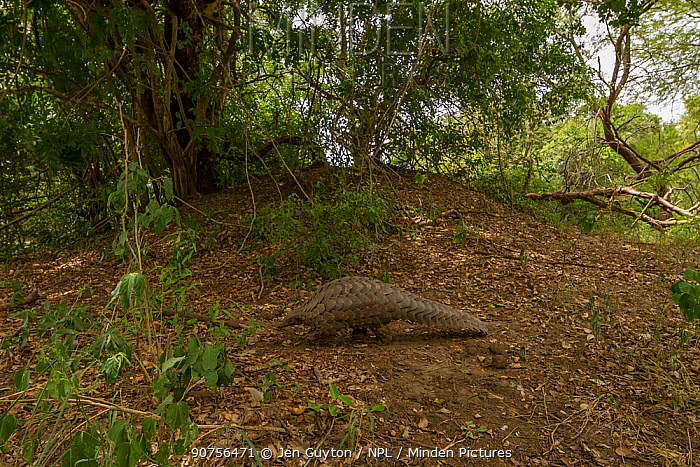 Ground pangolin (Smutsia temminckii) walking in front of a termite mound in Gorongosa National Park, Mozambique. Taken shortly after it was released back into the wild.