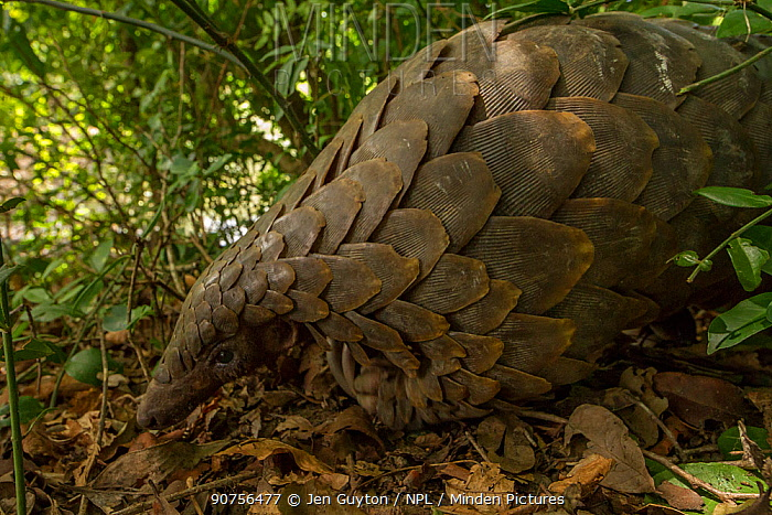 Ground pangolin (Smutsia temminckii) foraging on a termite mound in Gorongosa National Park, Mozambique. Taken shortly after it was released back into the wild.