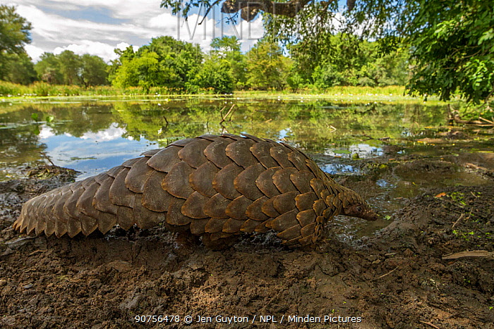 Ground pangolin (Smutsia temminckii) walking in front of a seasonal pond in Gorongosa National Park, Mozambique. Taken shortly after it was released back into the wild.