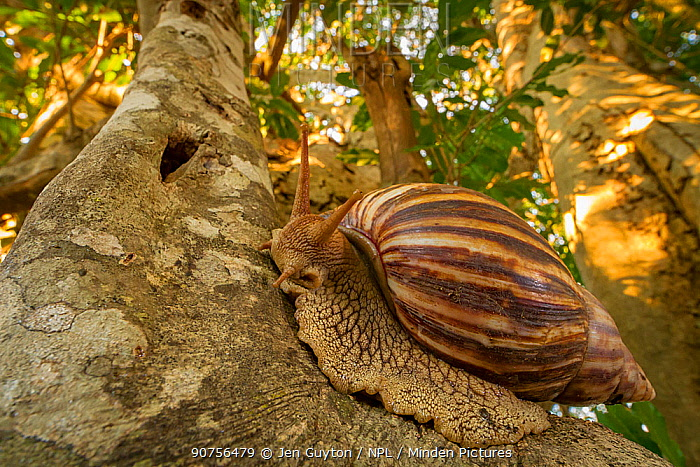 Giant ground snail (Achatina sp.) at dusk in Gorongosa National Park, Mozambique.