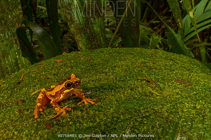 Hourglass tree frog (Dendropsophus ebraccatus) on moss covered leaf at La Selva Biological Station, Costa Rica.