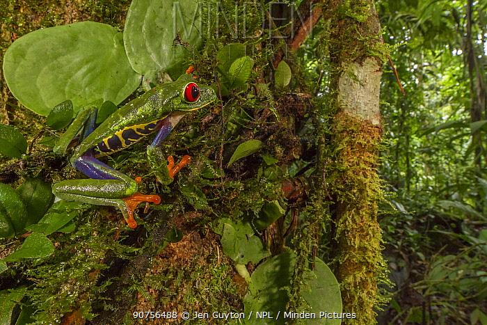 Red-eyed tree frog (Agalychnis callidryas) among the vegetation at La Selva Biological Station, Costa Rica.