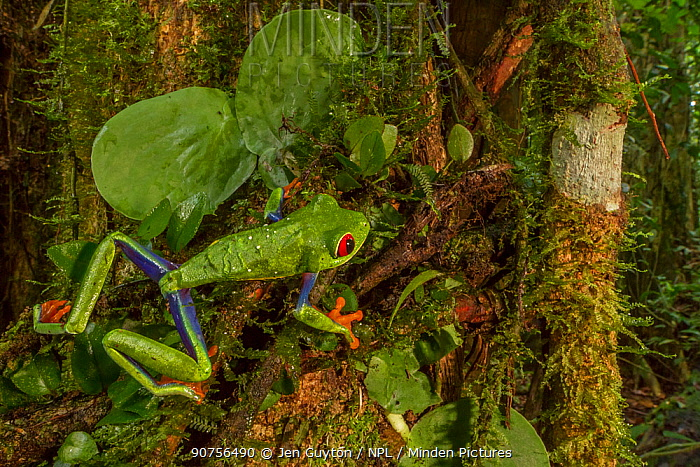 Red-eyed tree frog (Agalychnis callidryas) among the vegetation at La Selva Biological Station, Costa Rica.