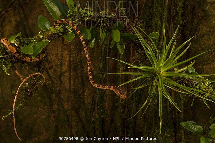 Blunt-headed tree snake (Imantodes cenchoa) moving on abranch, La Selva Biological Station, Costa Rica.