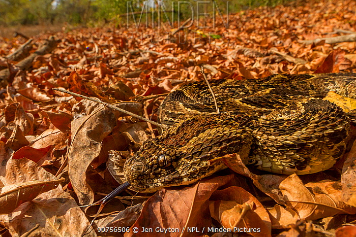 Puff adder (Bitis arietans) camouflaged in leaf litter, Gorongosa National Park, Mozambique.