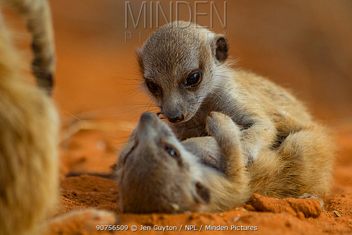 Meerkat (Suricata suricatta) two pups playing while their family member watches over them in the Kalahari Desert, South Africa.