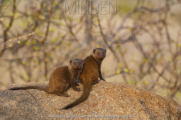 Dwarf mongoose (Helogale parvula) pair, Kruger National Park, South Africa.