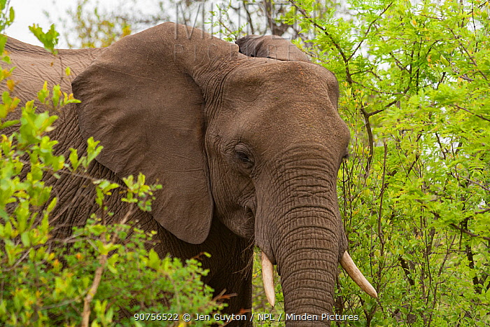 African elephant (Loxodonta africana) in Kruger National Park, South Africa.