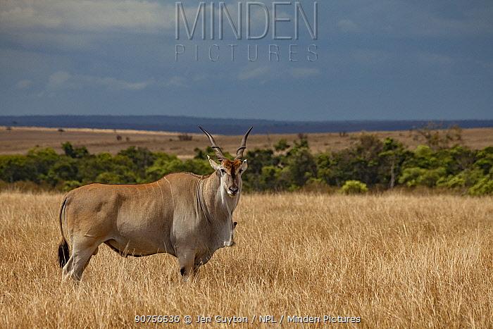 Common eland (Taurotragus oryx) male standing with Yellow-billed oxpecker (Buphagus africanus) on dewlap. Masai Mara Reserve, Kenya.