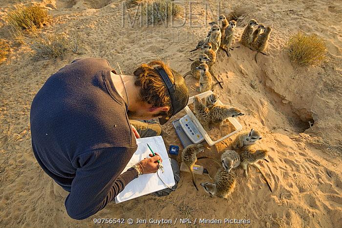 Researcher weighing wild, habituated Meerkats (Suricata suricatta) at their burrow in the Kalahari Desert, South Africa.  June 2010