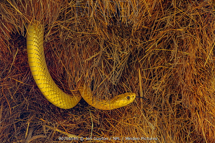Bright yellow Cape cobra (Naja nivea) tastes the air as he investigates the nest of Sociable weaver birds (Philetairus socius) Kalahari Desert, South Africa.