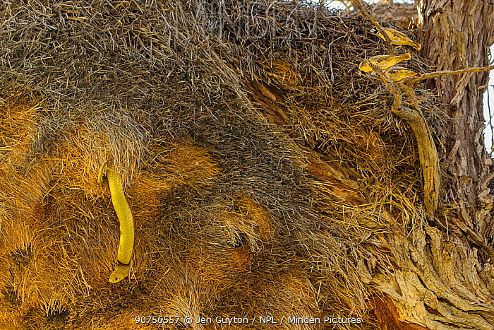 Sociable weaver birds (Philetairus socius) noisily mob a bright yellow Cape cobra (Naja nivea)  that is raiding their nest in the Kalahari Desert,  South Africa.