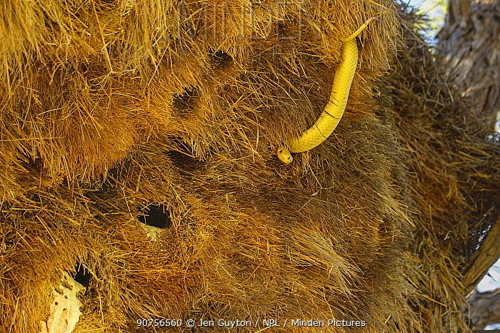 Bright yellow Cape cobra (Naja nivea) hunting amongst  nests of Sociable weaver birds (Philetairus socius) Kalahari Desert, South Africa.