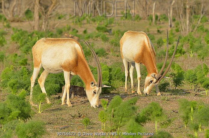 Scimitar-horned oryx (Oryx dammah) captive in enclosure of Souss Massa National Park, Morocco. Extinct in the Wild.