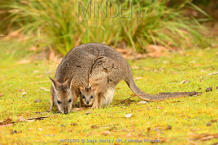 Tammar wallaby (Macropus eugenii) female with joey in pouch. South Australia