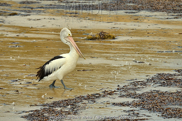 Australian pelican (Pelecanus conspicillatus) Kangaroo Island, South Australia