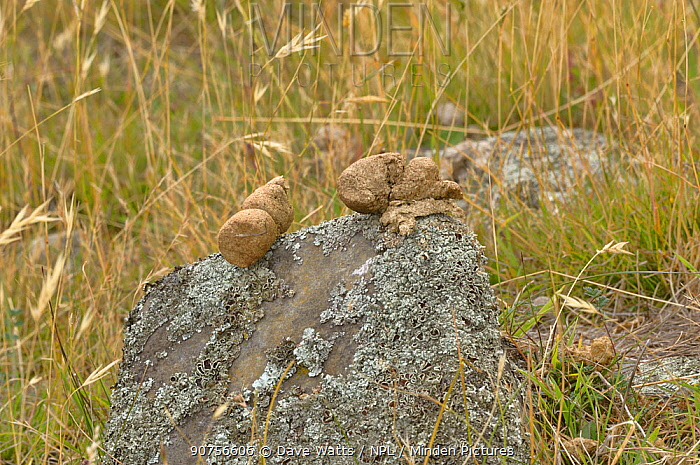 Common wombat (Vombatus ursinus) cylindrical droppings / faeces on rock, Tasmania, Australia