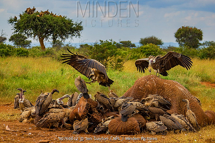 Ruppell's griffon vultures (Gyps rueppelli) and white-backed vultures (Gyps africanus) squabble over an elephant carcass (Loxodonta africana); the elephant was killed by government officials after it killed a man. Laikipia Plateau, Kenya.