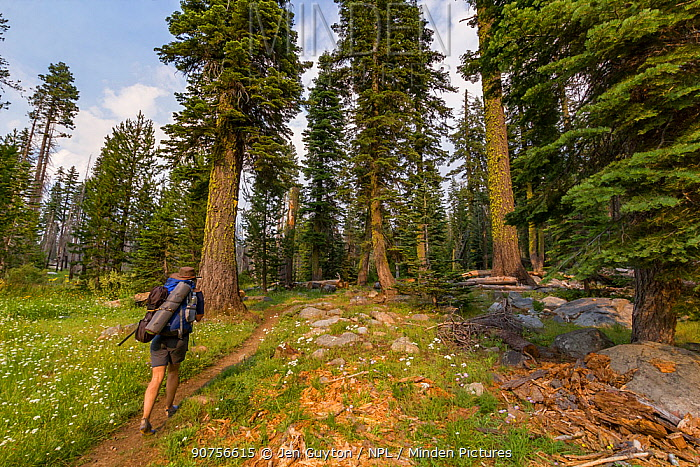 Hiker walking through a tall grove of trees on a backcountry trail in the Hetch Hetchy region, Yosemite National Park, California, USA.
