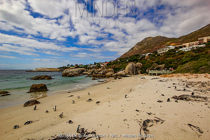 Boulders Beach, home to one of only three known colonies of African penguins (Spheniscus demersus), Simon's Town, South Africa.