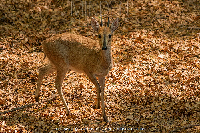Grey duiker (Sylvicapra grimmia) near Cathedral Peak in the uKhahlamba-Drakensberg World Heritage Site, South Africa.