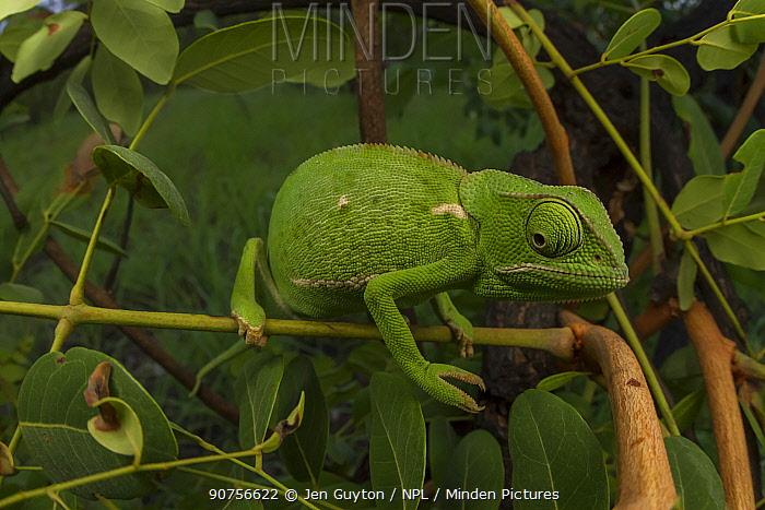Flap-necked chameleon (Chamaeleo dilepis) foraging for prey in bush. Gorongosa National Park, Mozambique