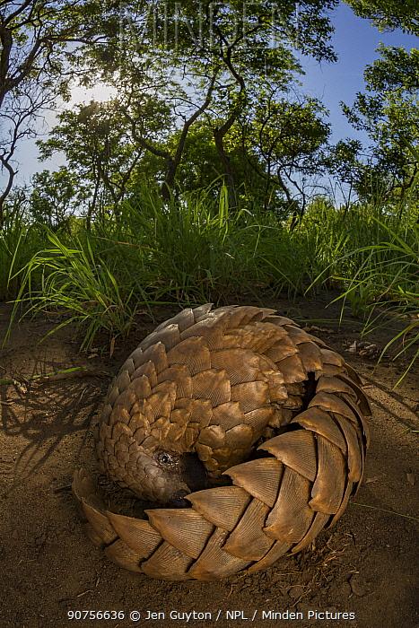 Ground pangolin (Smutsia temminckii) foraging for termites, taken during a biodiversity survey in Gorongosa National Park, Mozambique.