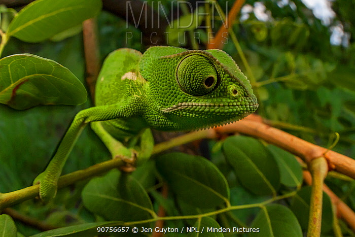 Flap-necked chameleon (Chamaeleo dilepis) foraging for prey in bush. Gorongosa National Park, Mozambique Sequence showing the chameleon walking and movement of the eyes. 4 of 6.