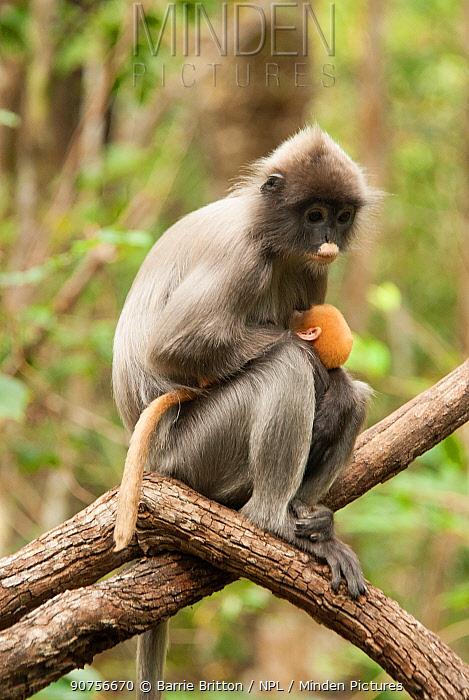 Phayre's Leaf Monkey (Trachypithecus phayrei) mother and infant. Phu Khieo Wildlife Sanctuary, Thailand.