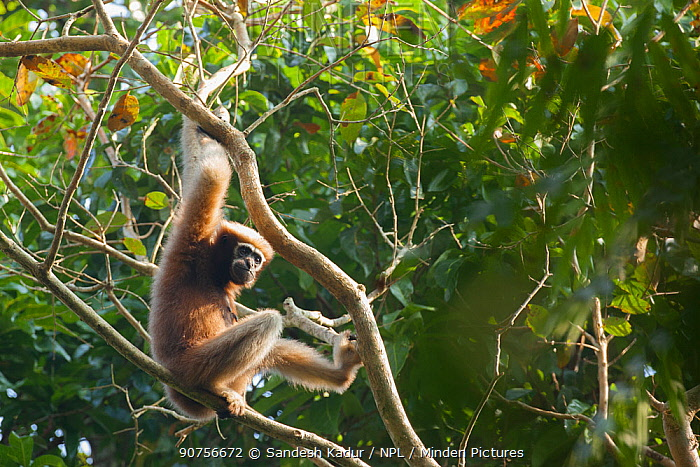Western hoolock gibbon (Hoolock hoolock) in tree,Assam, India.