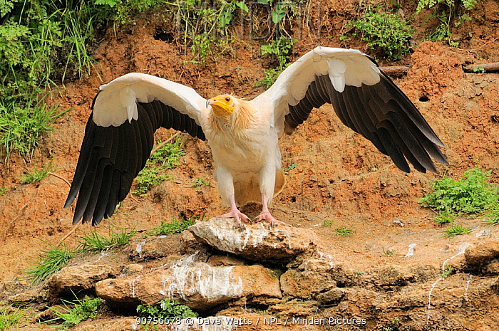 Egyptian vulture (Neophron percnopterus) adult with wings stretched, France