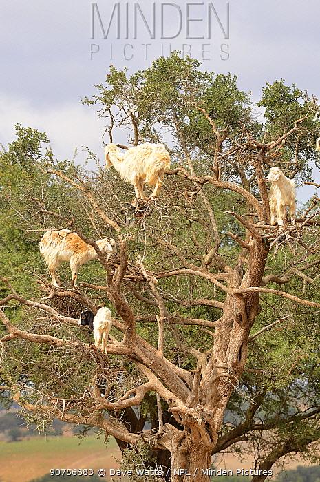 Domestic goats (Capra aegagrus hircus) climbing Argan tree, Essaouira, Morocco