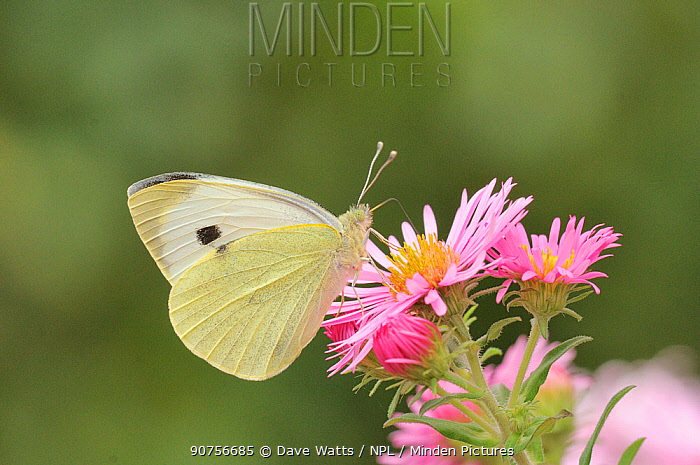 Large white butterfly (Pieris brassicae) feeding on aster, UK