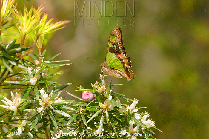 Macleay's swallowtail (Graphium macleayanum) Tasmania, Australia
