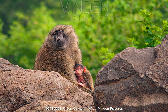 Olive baboon (Papio anubis) mother and baby, outside of Lake Manyara National Park, Tanzania.