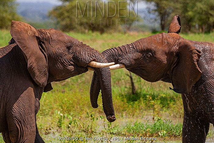 African elephant (Loxodonta africana) bulls play fighting with each other in Tarangire National Park, Tanzania.