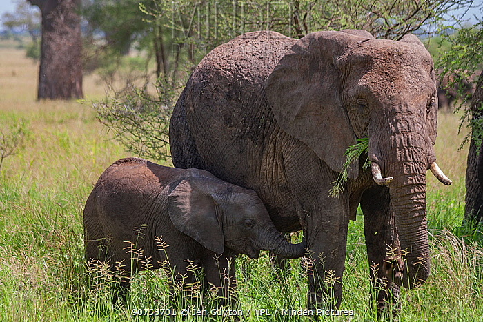 African elephant (Loxodonta africana) mother with calf, foraging together in Serengeti National Park, Tanzania.