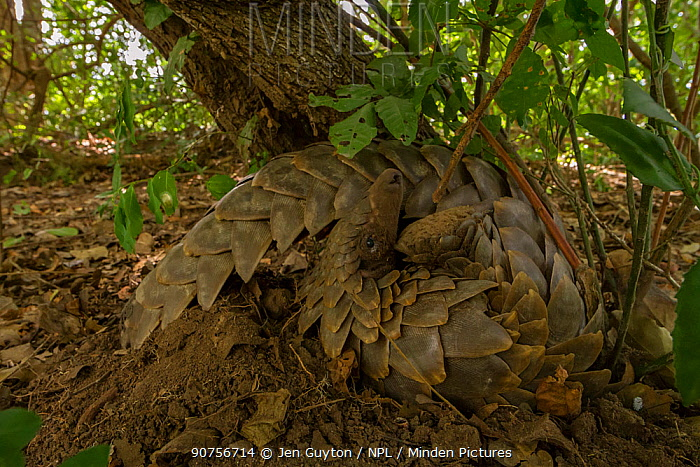 Ground pangolin (Smutsia temminckii) curling up to rest on a termite mound in Gorongosa National Park, Mozambique. Taken shortly after the pangolin was released back into the wild.