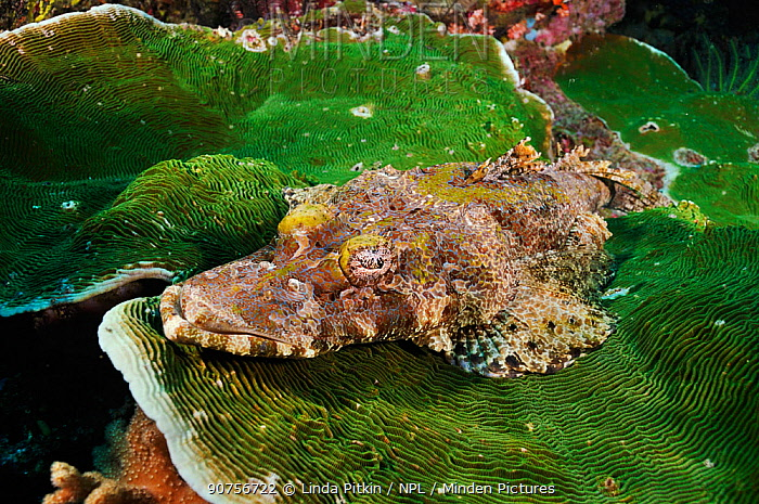 Crocodilefish (Cymbacephalus beauforti), resting on coral Dampier Strait, Raja Ampat, West Papua, Indonesia.