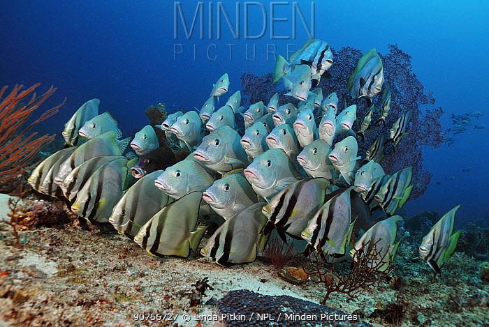 Mixed-species school of Blackfin Sweetlips, Indonesian Sweetlips (Diagramma melanacrum), and Pinnate Batfish or Spadefish (Platax pinnatus) Dampier Strait, Raja Ampat, West Papua, Indonesia, March 2016