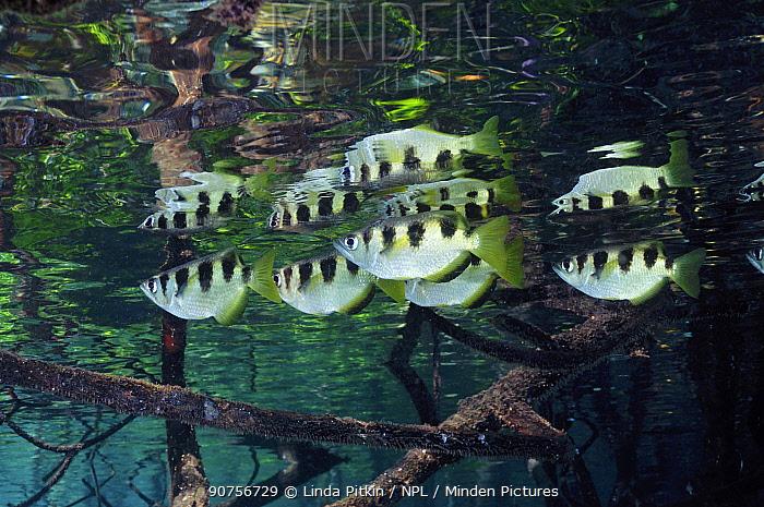 Archer Fish (Toxotes jaculatrix) in mangroves (Rhizophora sp.) Mangrove Ridge, Yanggefo Island, Raja Ampat, West Papua, Indonesia, March 2016