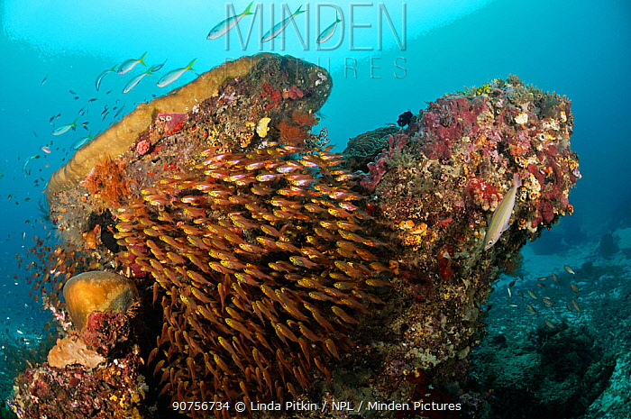 School of Golden/ Pygmy Sweepers (Parapriacanthus ransonneti), and other fishes, sheltering around a coral head Dampier Strait, Raja Ampat, West Papua, Indonesia.