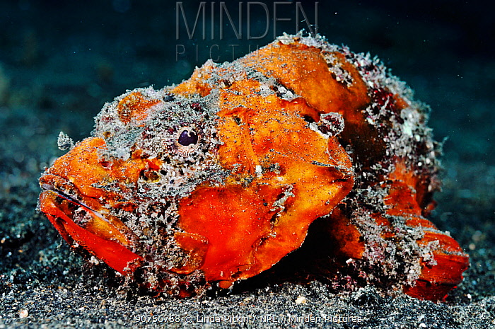 Yellowfin scorpionfish (Scorpaenopsis neglecta) Lembeh Strait, North Sulawesi, Indonesia, February 2016