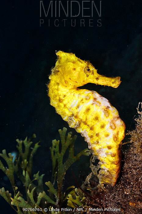 Spotted seahorse (Hippocampus taeniopterus) Lembeh Strait, North Sulawesi, Indonesia, March 2016