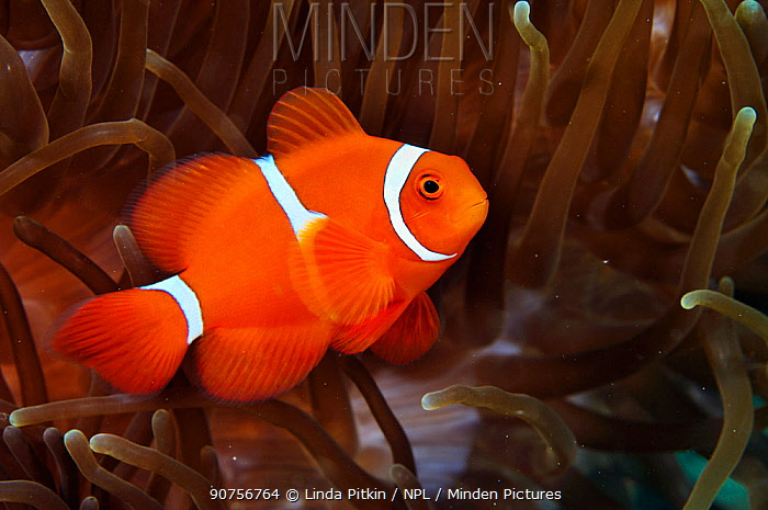 Spine-cheek anemonefish (Premnas biaculeatus) in host Bulb-tentacle sea anemone (Entacmaea quadricolor)