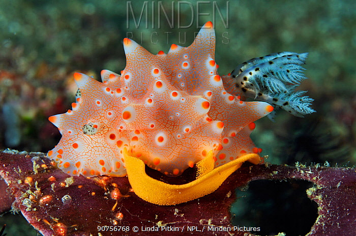 Nudibranch (Halgerda batangas) laying eggs
