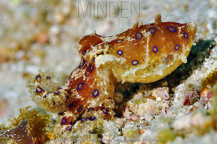 Blue-ringed octopus (Hapalochlaena lunulata) Komodo National Park, Indonesia.