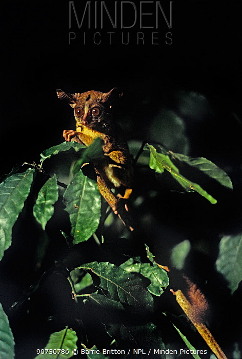 Rondo dwarf galago (Galagoides rondoensis) from Rondo in south-east Tanzania