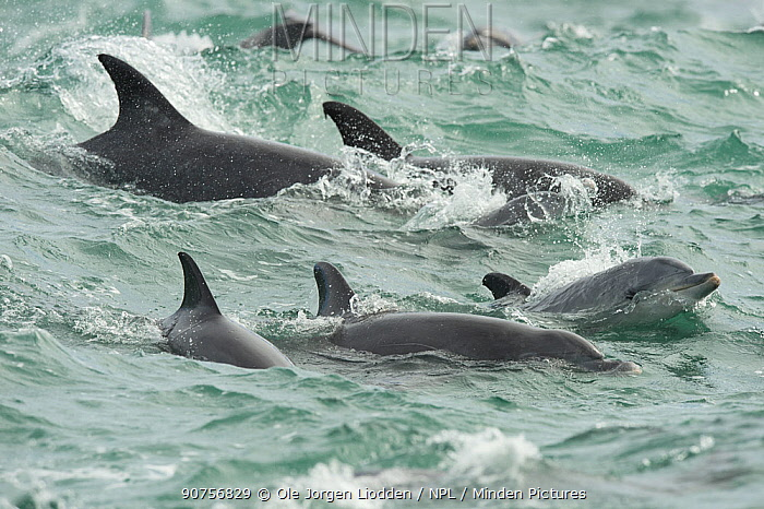 Common bottlenose dolphin (Tursiops truncatus) at water surface, Algoa Bay, South Africa